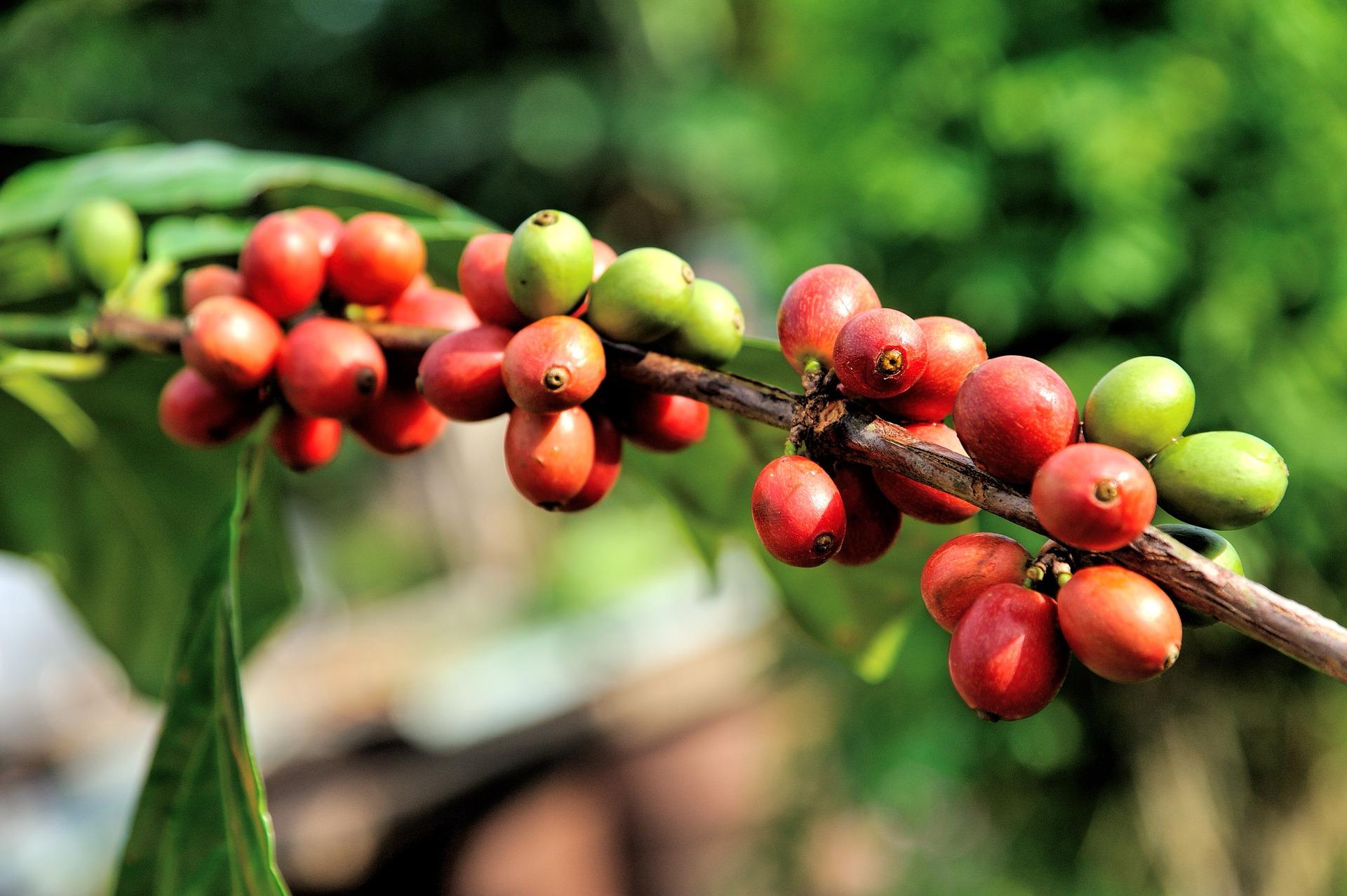 Plody kávovníku tvoří červené boby / zdroj: pixabay.com