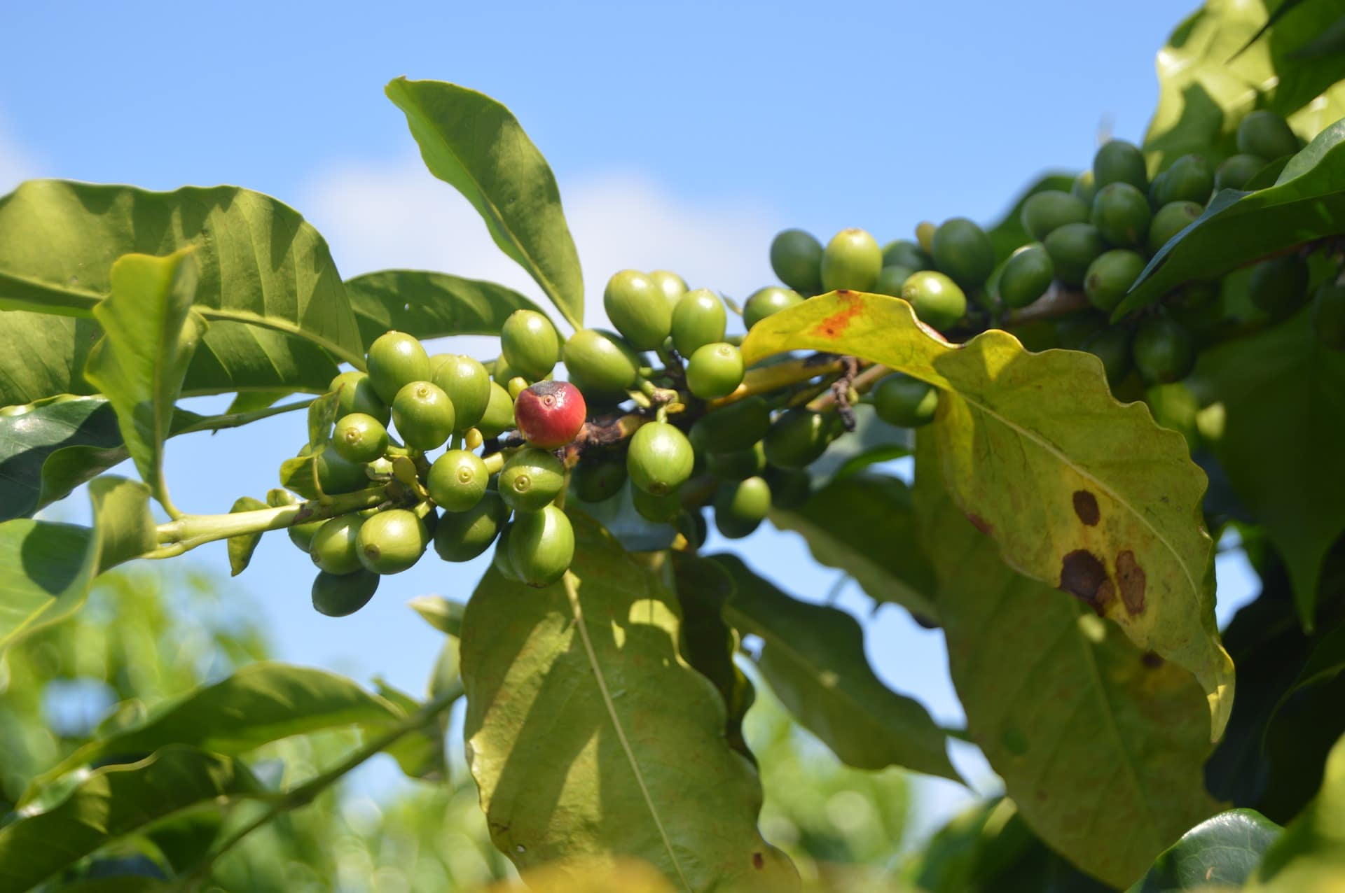 Zelená káva má pozitivní vliv na hubnutí / foto: pixabay.com
