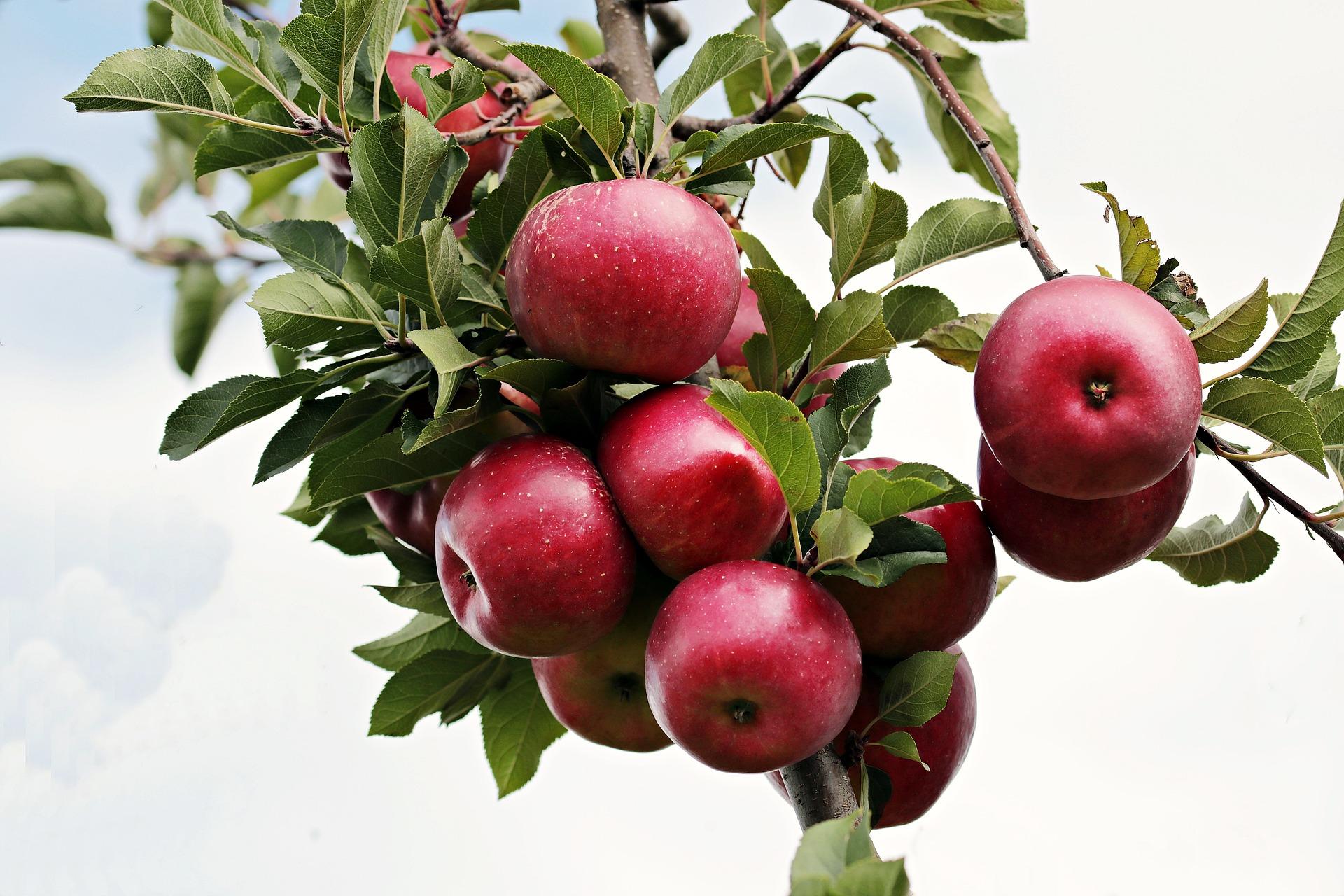 Na výrobu jablečného octu se používají čerstvá šťavnatá jablka / foto: pixabay.com