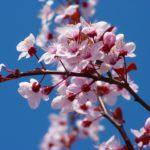 Květy mandloně obecné / foto: pixabay.com