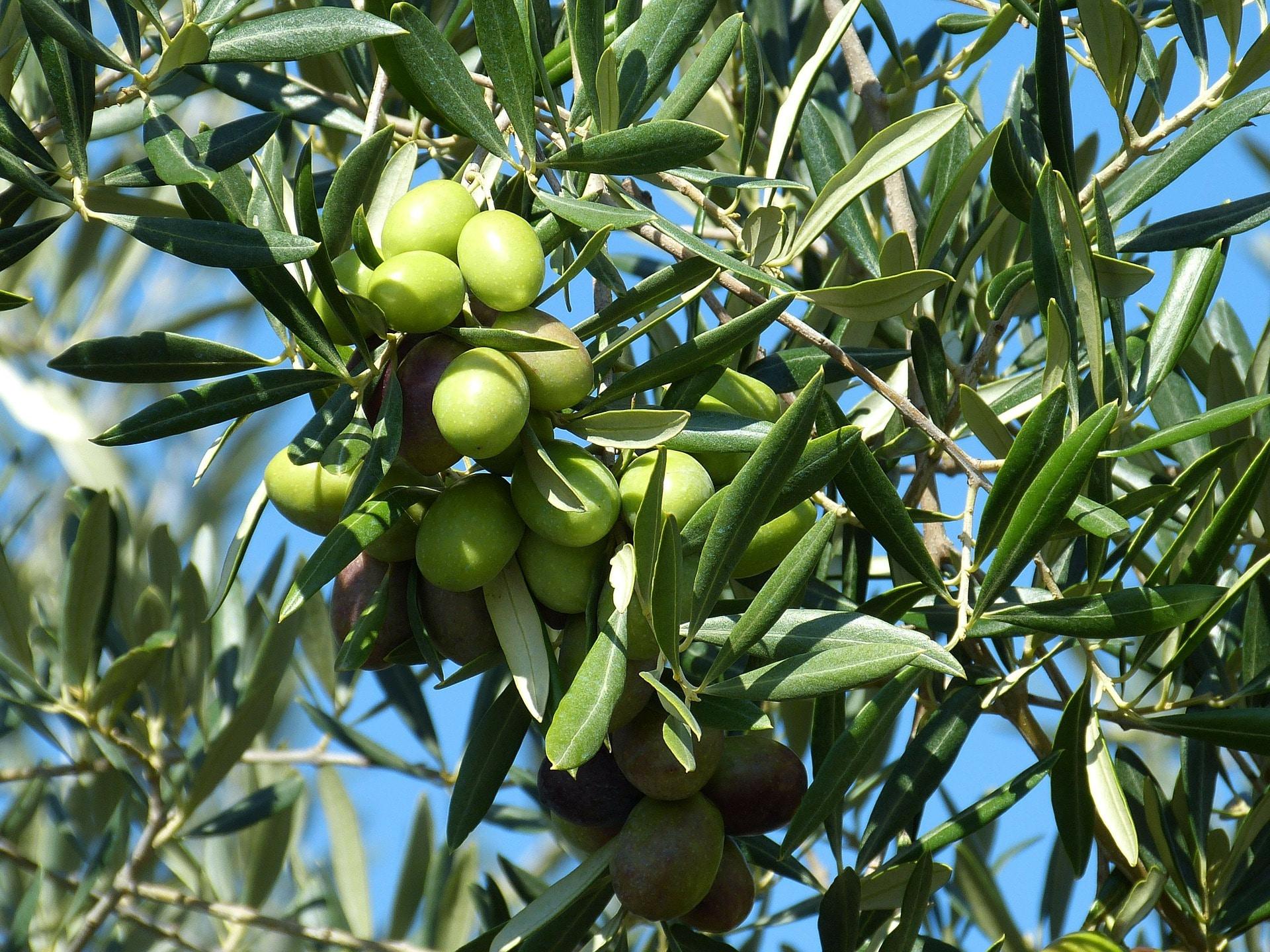 Extra virgin olivový olej se získává z čerstvě natrhaných oliv / foto: pixabay.com