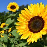 Slunečnice roční / foto: pixabay.com